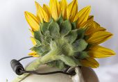 Sunflower on Ceramic Jug