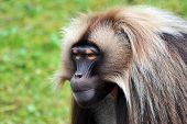 Gelada Baboons (Theropithecus gelada) - portrait