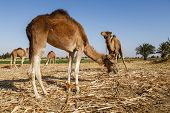 Camels In Fayoum