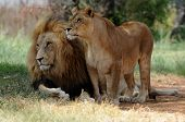 picture of desert animal  - Lion and lioness sitting on grass South Africa - JPG