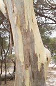 Australian Eucalypt