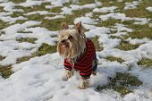 Yorkshire Terrier In Winter Garb
