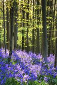 pic of harebell  - Beautiful morning in freshb Spring bluebell forest - JPG