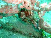 image of lion-fish  - Lion fish took underwater off Manado in Indonesia - JPG