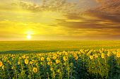 Field Of Sunflowers And Sunrise