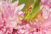Grasshopper On The Flower