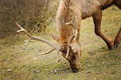 Elk Bull With Bending Down Head