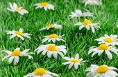 Daisies On Grass