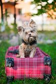 Yorkshire Terrier Sitting On Red Suitcase And Looking At Camera