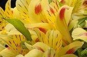 Yellow Flower Alstroemeria