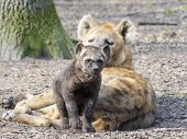 pic of hyenas  - Spotted hyena  - JPG
