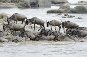pic of wildebeest  - Wildebeest coming out the river after crossing - JPG