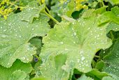 Lady's mantle leaves with dew drops