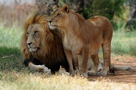 stock photo of lion  - Lion and lioness sitting on grass South Africa - JPG