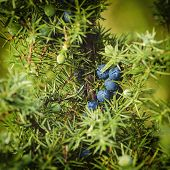 image of juniper-tree  - Juniper blue berries on the tree - JPG