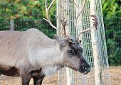 stock photo of antlers  - Reindeer male with antler velvet peeling straw on ground - JPG