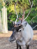 picture of caribou  - Reindeer male with antler velvet peeling straw on ground - JPG