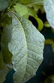 image of tobacco leaf  - Close up of large green tobacco leaf covered with rain drops at later afternoon - JPG