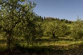 picture of olive trees  - The landscape with some olive trees Tuscany Italy - JPG
