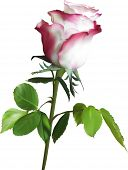 image of single white rose  - illustration with single pink rose flower isolated on white background - JPG