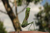stock photo of creepy crawlies  - green praying mantis close up  - JPG
