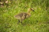 picture of canada goose  - A Canada Goose gosling walking through the grass - JPG