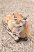 picture of antlers  - Deer without antler at Nara  - JPG