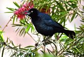 image of greater antilles  - The Greater Antillean grackle  - JPG