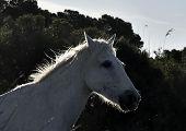 foto of wild horse running  - Portrait of the Running White Camargue Horses in Parc Regional de Camargue - JPG