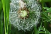 image of dispatch  - Dandelion seed head ready to dispatch seeds - JPG
