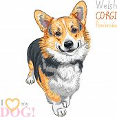 picture of corgi  - color sketch of the dog Pembroke Welsh corgi breed standing and smiling - JPG