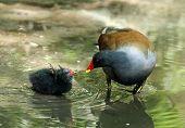 image of begging  - Common Moorhen chick begging for food from parent bird - JPG