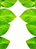 picture of ivy  - Close up leaf of Green Ivy isolated on white background - JPG