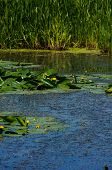 picture of water lily  - Yellow Water - JPG