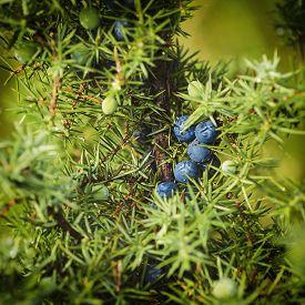 pic of juniper-tree  - Juniper blue berries on the tree - JPG