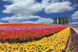 stock photo of buttercup  - Huge fields of garden buttercups  - JPG