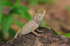 picture of lizards  - Green crested lizard black face lizard tree lizard - JPG