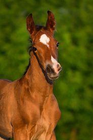 stock photo of colt  - Bay newborn colt portrait  outdoor against green background - JPG