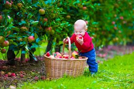 stock photo of fruits  - Child picking apples on a farm - JPG