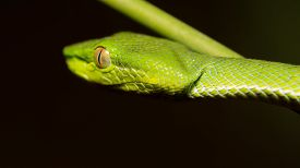 pic of tree snake  - Close up of little green snake on tree branch in the forest - JPG