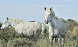 stock photo of hackney  - Portrait of the White Camargue Horse - JPG