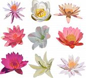 illustration with nine lily flowers isolated on white background