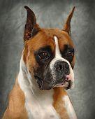 A portrait of a Boxer Dog