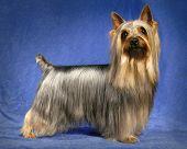 A portrait of a male Silky Terrier