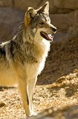 stock photo of north american gray wolf  - A Mexican Gray Wolf - JPG