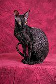 Photo of an Cornish Rex cat
