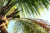 Coconuts And Palm Fronds