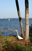 White Heron By The Shore