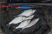 Постер, плакат: Several Ablet Roach And Bream Fish On Fishing Net Fishing Rod With Float And Fishing Net As Backgr
