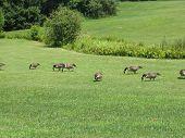 Canadian Geese Feeding
